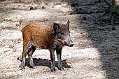France, Burgundy, Yonne. Area of Saint Fargeau and Boutissaint. Slab season. Wild boar.