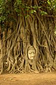 Thailand, Ayutthaya, Boudha's head in Banyan roots, historic park