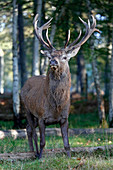 France, Burgundy, Yonne. Area of Saint Fargeau and Boutissaint. Slab season. Stag in the undergrowth.