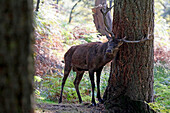 France, Burgundy, Yonne. Area of Saint Fargeau and Boutissaint. Slab season. Stag in a wood striking a trunk.