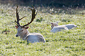 France, Burgundy, Yonne. Area of Saint Fargeau and Boutissaint. Slab season. Young white stags in a meadow.