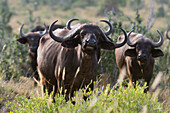 Portrait of an African buffalo ,Syncerus caffer, looking at the camera, Tsavo, Kenya, East Africa, Africa