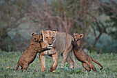 Lion ,Panthera leo, two cubs playing with their mother, Ngorongoro Crater, Tanzania, East Africa, Africa