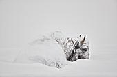 Bison ,Bison bison, im Winter mit Schnee bedeckt, Yellowstone National Park, Wyoming, Vereinigte Staaten von Amerika, Nordamerika