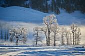 Backlit frost-covered Pappelbäume im Winter, Yellowstone National Park, UNESCO-Weltkulturerbe, Wyoming, Vereinigte Staaten von Amerika, Nordamerika