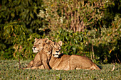 Two lionesses ,Panthera leo, and a cub, Ngorongoro Crater, Tanzania, East Africa, Africa