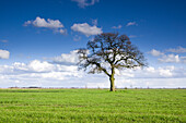 Bald oak tree on pasture, Dose, Friedeburg, Wittmund, Ostfriesland, Lower Saxony, Germany