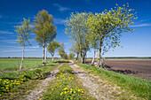 Dirt road with birch trees, Upschört, Friedeburg, Wittmund, Ostfriesland, Lower Saxony, Germany
