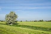 Hawthorn bush on pasture in the morning light, Gödens, Sande, Landkreis Friesland, Lower Saxony, Germany