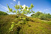 Oak tree, heath, crowberry on brown dune under blue sky, Spiekeroog, Ostfriesland, Lower Saxony, Germany