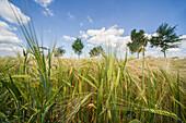 Barley field under blue sky, Bentstreek, Friedeburg, Wittmund, Ostfriesland, Lower Saxony, Germany