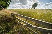 Wooden gate at rye field, Leerhafe, Wittmund, Ostfriesland, Lower Saxony, Germany