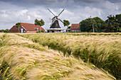 Windmill , Seriemer Mühle,  with barley field, Neuharlingersiel, Esens, Wittmund, Ostfriesland, Lower Saxony, Germany