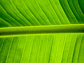 Green Banana Leaf, Close-Up 2