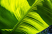 Sunlit Banana Leaves, Close-Up