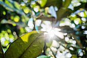 Low Angle View of Sun Flare Through Magnolia Trees