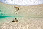 A conch shell lays in shallow water water at a sandy beach on a kay in Belize.