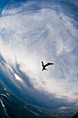 A frigate bird is seen flying above the water in Belize.