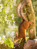 Side view of red squirrel climbing upside down on tree branch, Jamtland, Sweden