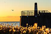 Pusteblumen im Abendlich am Jachthafen, Mann schaut in Sonnenuntergang, Saniertes Hafenareal, Malmö, Südschweden, Schweden