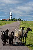 Langer Langer Jan on Oeland. Free-roaming sheep in the street, Schweden