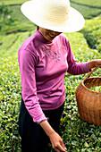 Worker harvesting tea in field
