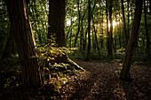 """UNESCO Welterbe """"Alte Buchenwälder Deutschlands"""", junge Buche im Gegenlicht, Hainich Nationalpark, Thüringen, Deutschland"""