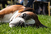Dog relaxes on lawn of Theetuin d' Aole Pastorie bakery and cafe, Zwartemeer, Drenthe, Netherlands