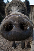 Close-up of wild boar's nose at Wildpark Haibach animal park, Haibach, Westspessart, Spessart-Mainland, Franconia, Bavaria, Germany