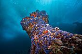 Violet Lace Corals in Surf zone, Distichopora violacea, Christmas Island, Australia