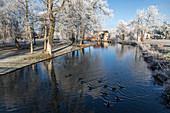 wild ducks and watermill on the banks of the risle river, frost in the white trees of winter, rugles (27), france