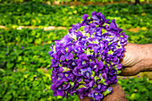 marcel quentin's violet plantation, tourrettes sur loup, alpes-maritimes, provence-alpes-cote d'azur (06), france