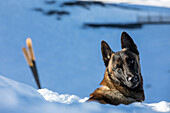 a belgian malinois, reporting on avalanche dog handlers, training organized by the anena with the approval of the civil security department, les-2-alpes (38), france