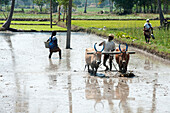 Man ploughing rice paddy with pair of bullocks, ready for planting new crop of rice, Tamil Nadu, India, Asia