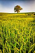 tree, Rastorf, Schwentinental, Schleswig Holstein, Germany