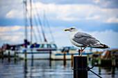 seagull, harbour, Schilksee, Schleswig Holstein, Germany