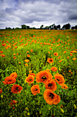 poppy, poppies, field, , Malente, Eutin, Germany