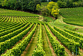France, Gironde, AOC Castillon Cotes de Bordeaux vine rows on a hillside