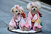 Portrait of two dogs wearing kimono,Kyoto, Japan,Asia