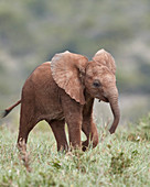 African Elephant (Loxodonta africana), baby running with its ears out, Addo Elephant National Park, South Africa, Africa