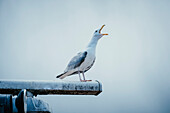 Seagull shouting while perching on metal against clear sky