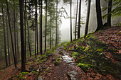 Forest in mist along the hiking path to Grosser Falkenstein, Bavarian Forest, Bavaria, Germany