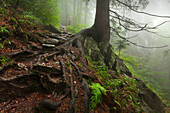 Roots of a spruce, hiking path to Grosser Falkenstein, Bavarian Forest, Bavaria, Germany