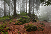 Forest in mist at the hiking path to Grosser Falkenstein, Bavarian Forest, Bavaria, Germany