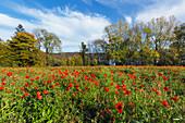 Meadow with poppies at Laacher See, near Maria Laach, Eifel, Rhineland-Palatinate, Germany