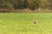 Deer, Fawn, Camouflage, Wild, Deer, Watching, Hiding, Arable, Linum, Linumer Bruch, Brandenburg, Germany
