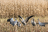 Cranes, Food Intolerance, Eating, Birds of Luck, Birds, Bird Migration, Flying Cranes, Autumn, Arable, Cornfield, Crane Family, Rest Area, Linum, Linumer Bruch, Brandenburg, Germany