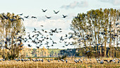 Cranes, Crane Long exposure, Birds of Luck, Birds, Bird migration, Flying cranes, Autumn, Arable land, Corn field, Crane family, Rest area, Feeding place, Linum, Linumer Bruch, Brandenburg, Germany