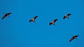 Fliegende Kraniche in der Abendsonne, Sonnenuntergang, Kranichfamilie, Vögel des Glücks, Vogelzug, Vogel-Silhouette, Flugstudie, Vogelbeobachtung, Kranichbeobachtung, Linum, Linumer Bruch, Brandenburg, Deutschland