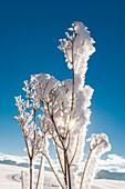 Frost an den Gräsern nach einer kalten Winternacht im Voralpenland, Bayern, Deutschland